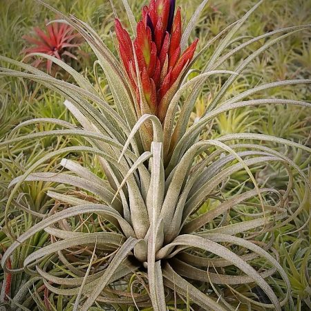 tillandsia jumping for joy