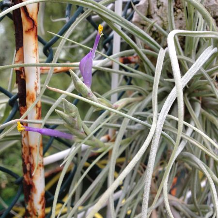 tillandsia baileyi halleys comet