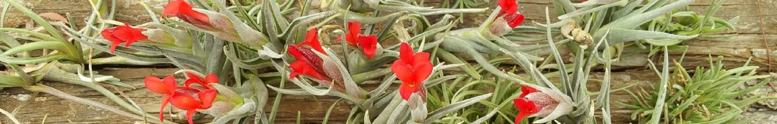 Tillandsia disticha